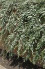 Cotoneaster (Cotoneaster sue. Coral Beauty)