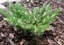 Ienupar tarator vargat (Juniperus horiz. Andorra Variegata)