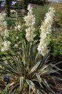Iuca galbena (Yucca filamentosa Bright Edge)